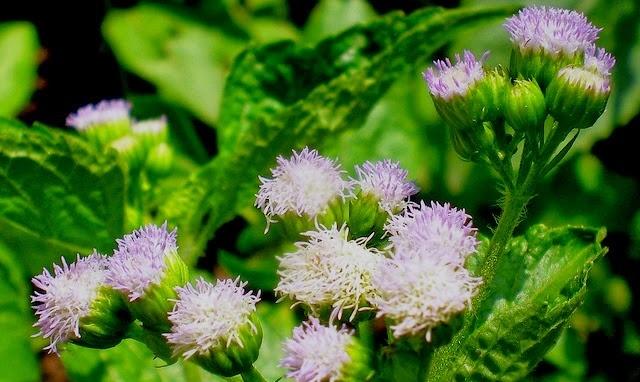 Tác dụng chữa bệnh của cây hoa ngũ sắc