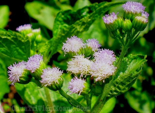 Hoa ngũ sắc bài thuốc chữa viêm xoang mũi tại nhà