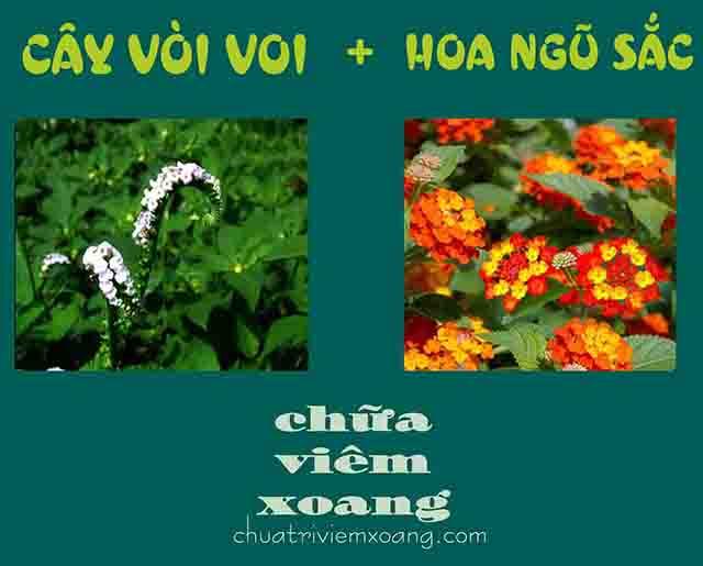 Bài thuốc cây vòi voi và hoa ngũ sắc trị viêm xoang