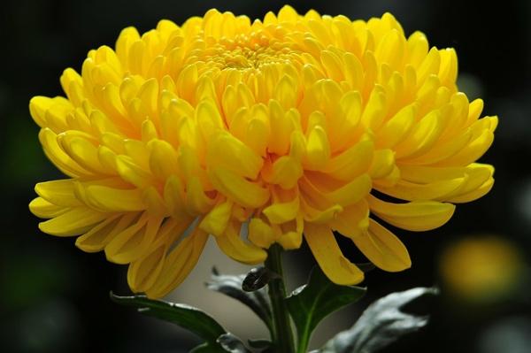 Hướng dẫn làm trà hoa cúc mật ong chữa viêm xoang