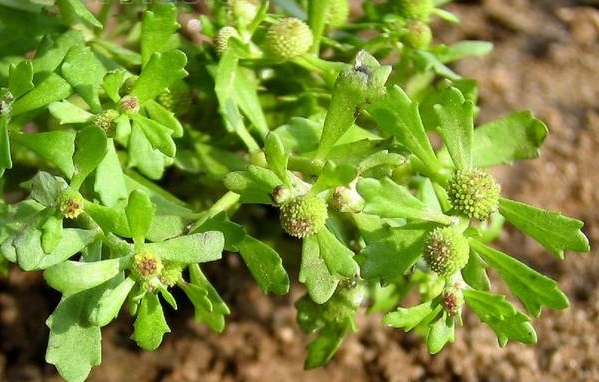Bài thuốc trị viêm mũi dị ứng từ cây cỏ the
