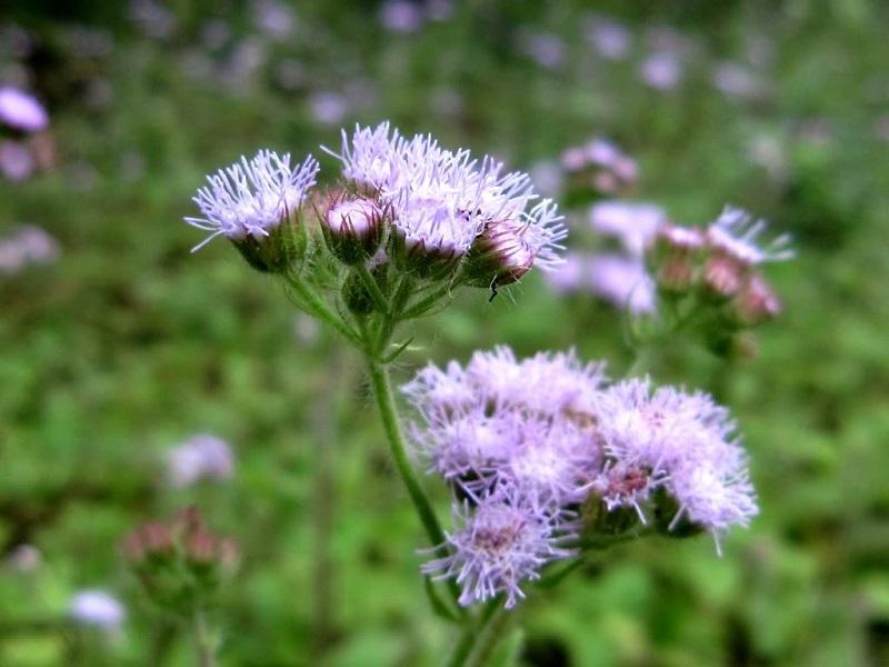 Chữa viêm mũi dị ứng bằng hoa ngũ sắc lành tính, phù hợp với mức độ bệnh nhẹ